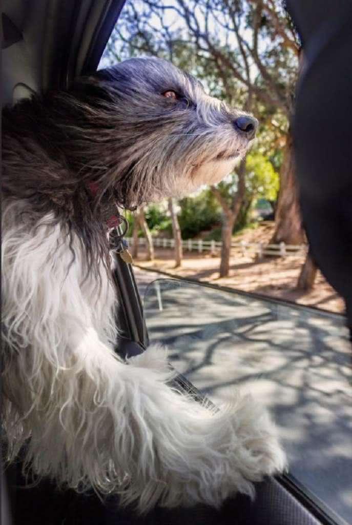 Cães sentindo o vento no carro (4)