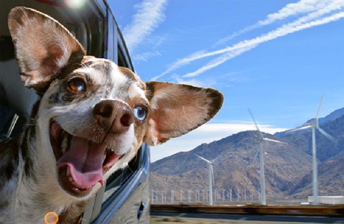 Cães sentindo o vento no carro (6)