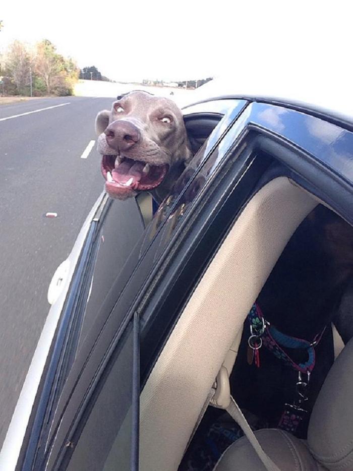 Cães sentindo o vento no carro (9)