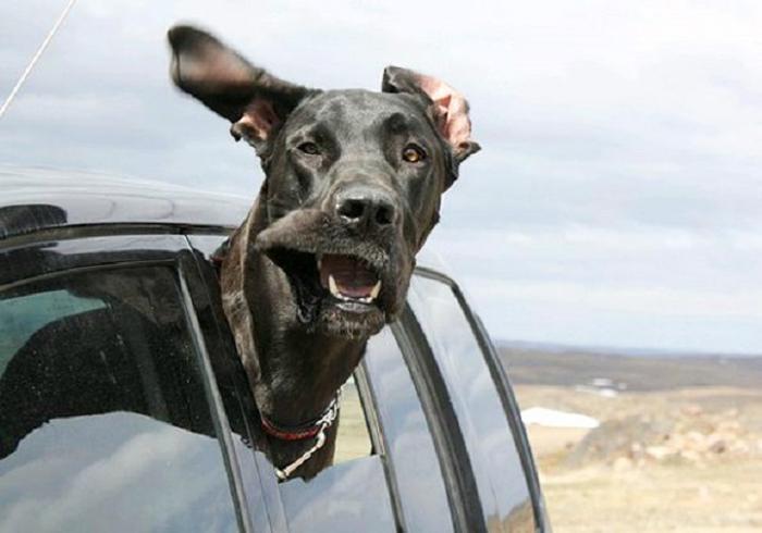 Cães sentindo o vento no carro (10)
