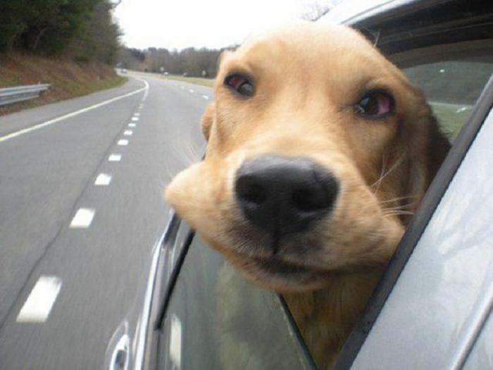 Cães sentindo o vento no carro (11)