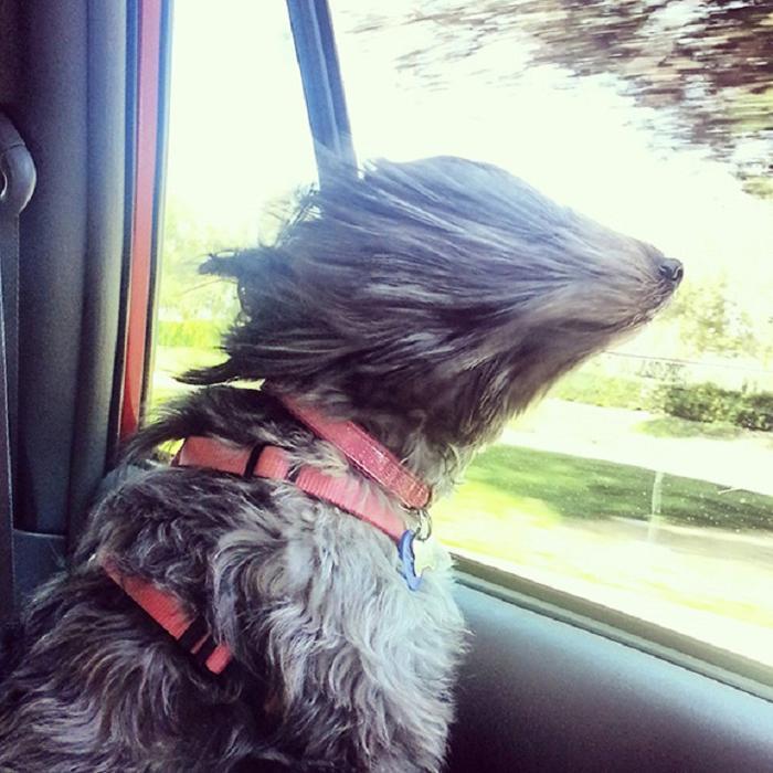 Cães sentindo o vento no carro (12)