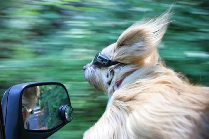 Cães sentindo o vento no carro (14)