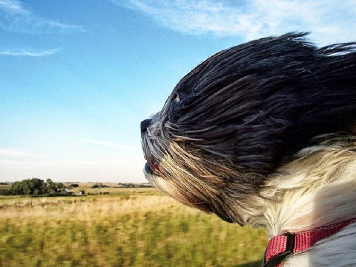 Cães sentindo o vento no carro (15)