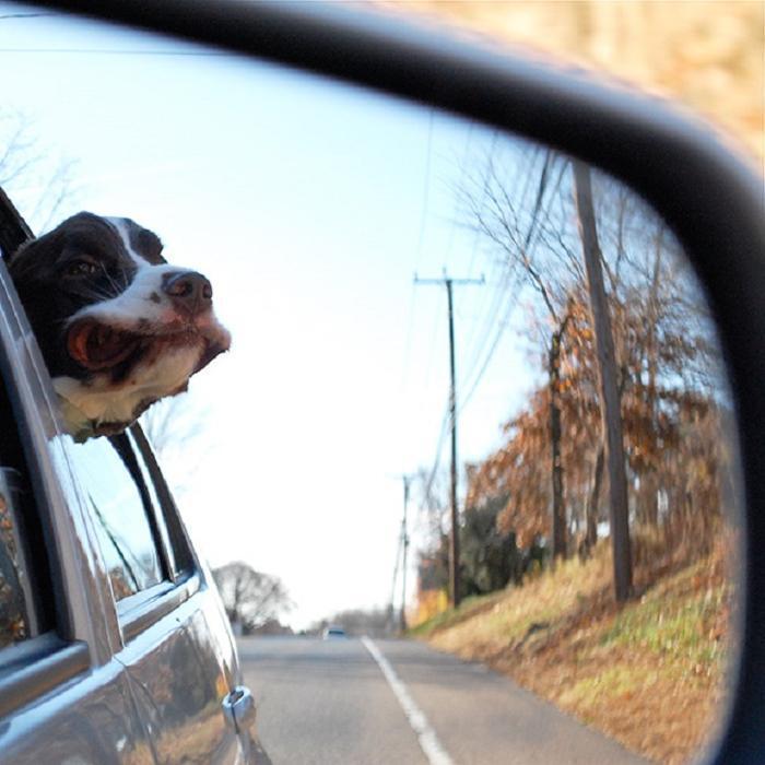 Cães sentindo o vento no carro (16)
