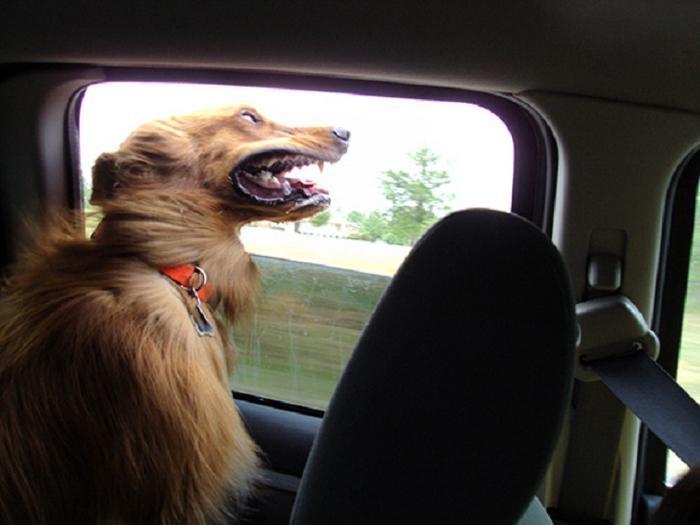 Cães sentindo o vento no carro (18)