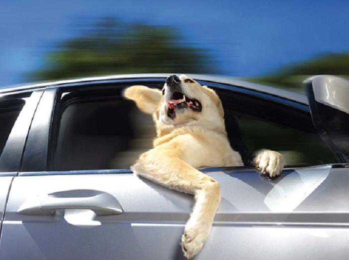 Cães sentindo o vento no carro (20)