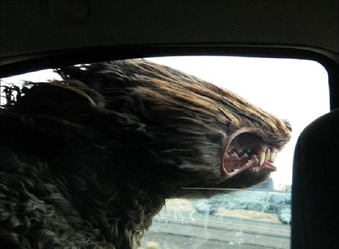 Cães sentindo o vento no carro (24)