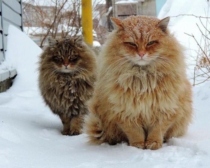 Resultado de imagem para gato siberiano