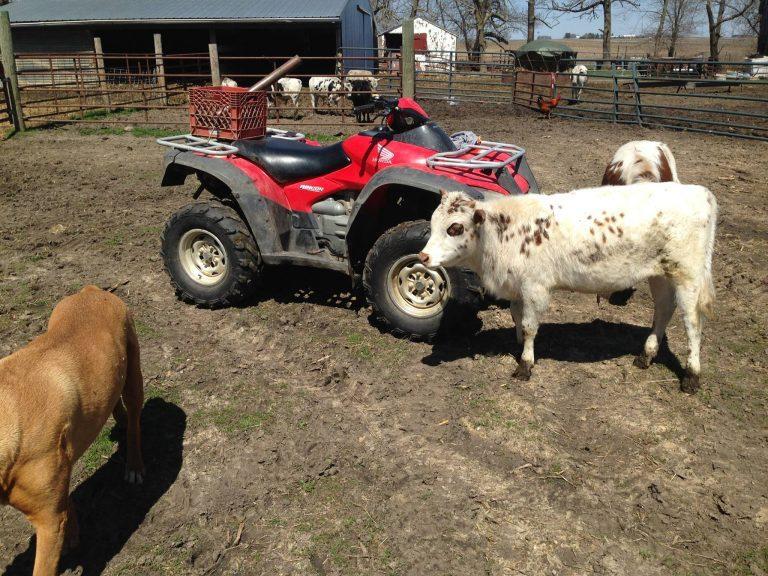 Mini Vacas (2)