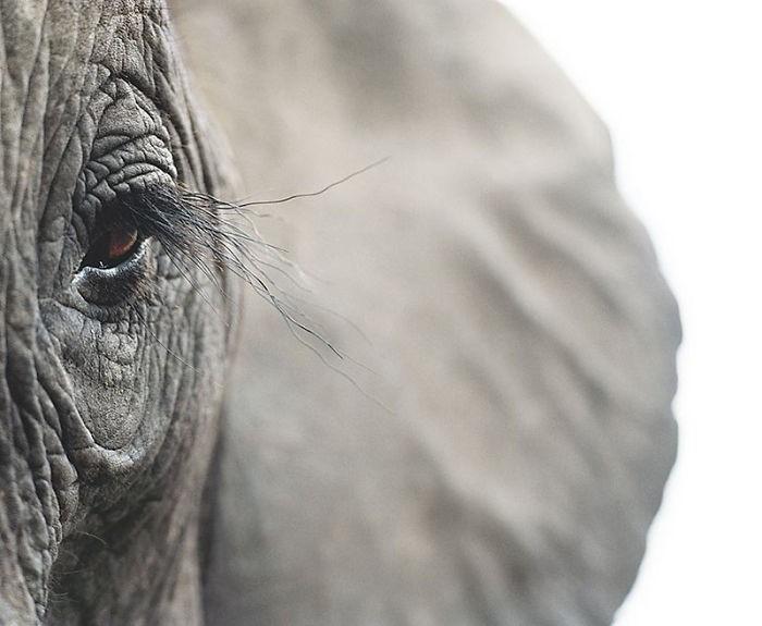 Fotógrafo cria, em dois anos, série com animais em extinção (16)
