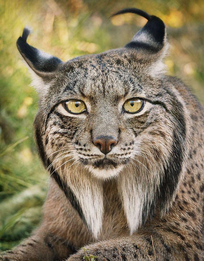 Fotógrafo cria, em dois anos, série com animais em extinção (15)