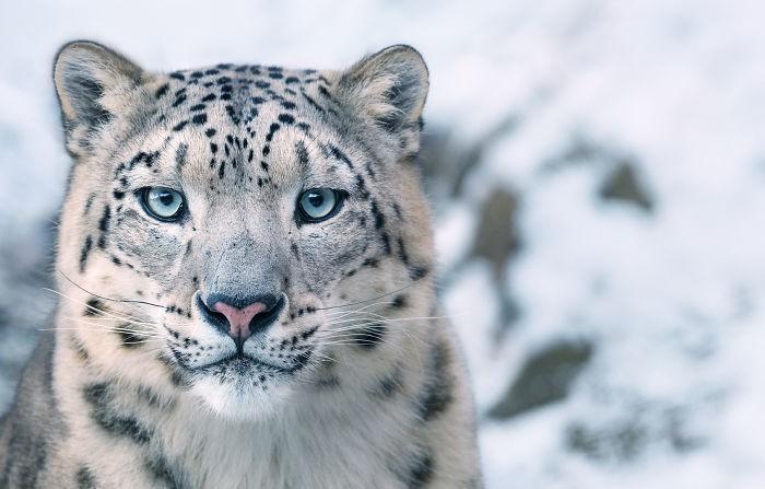 Fotógrafo cria, em dois anos, série com animais em extinção (14)