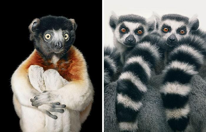 Fotógrafo cria, em dois anos, série com animais em extinção (12)
