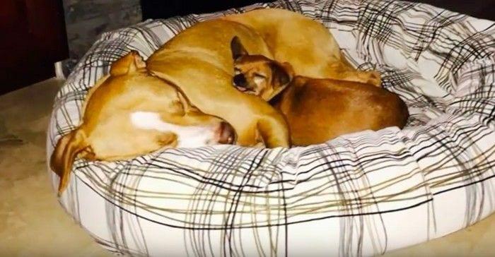 Cão Pit Bull e Chihuahua amigos