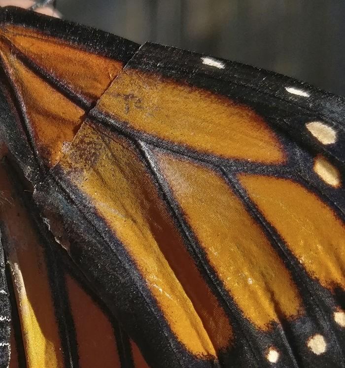 transplante de asa em borboleta-monarca (7)