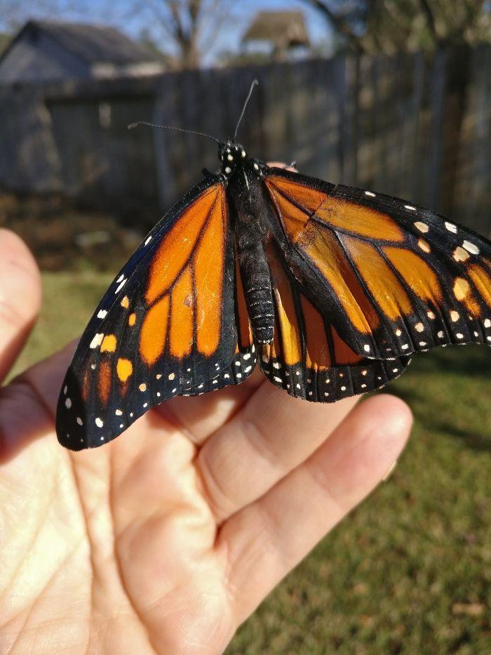 transplante de asa em borboleta-monarca (5)