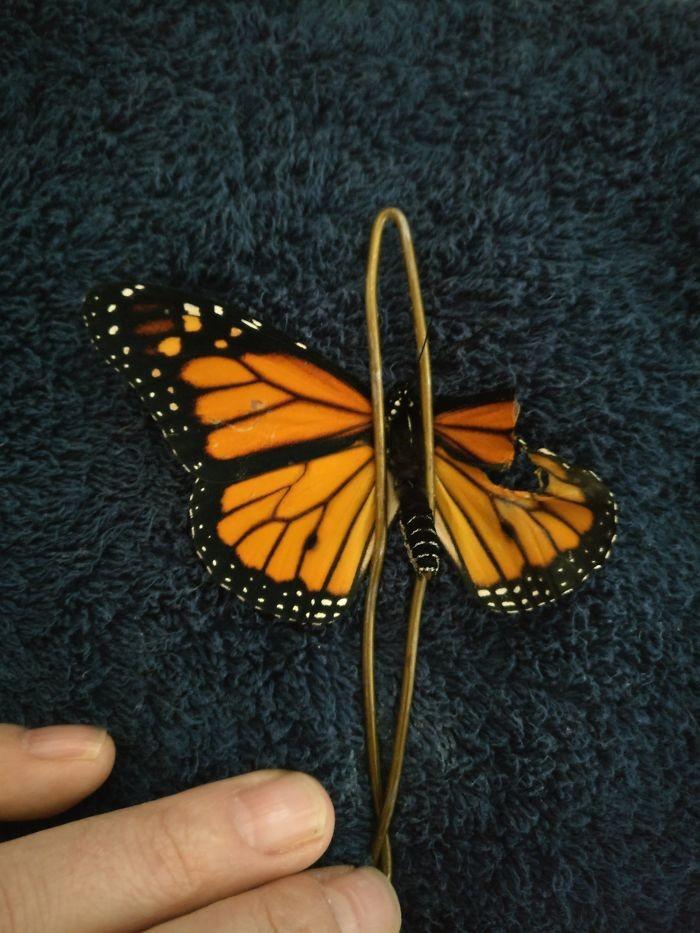 transplante de asa em borboleta-monarca (3)