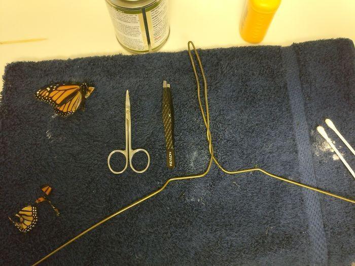 transplante de asa em borboleta-monarca (2)