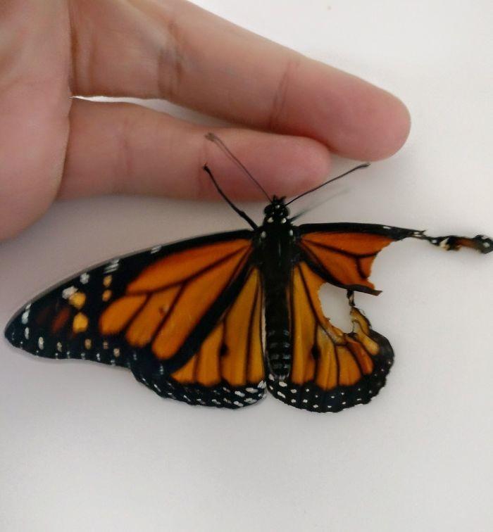 transplante de asa em borboleta-monarca (1)