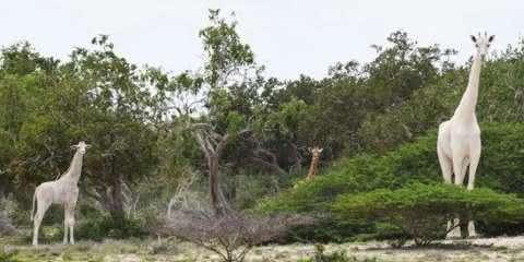 Vídeo raro de girafa branca como a neve viraliza na internet