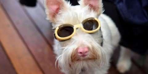 Este cão albino usando óculos é a coisa mais fofa que você verá hoje