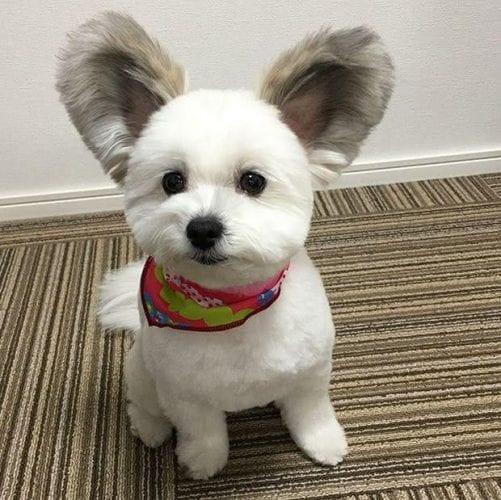 cão com orelhas de rato (1)