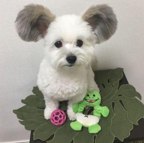 cão com orelhas de rato (2)