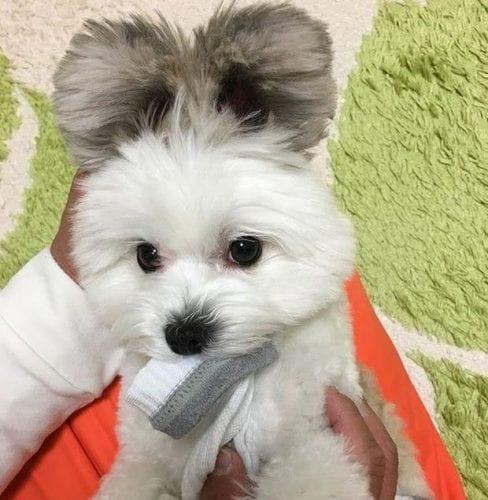 cão com orelhas de rato (3)