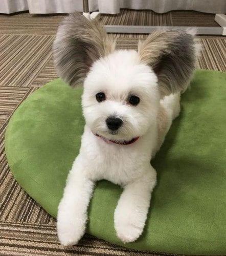 cão com orelhas de rato (5)