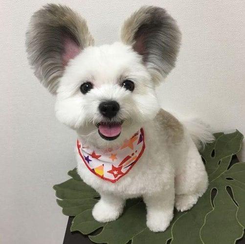 cão com orelhas de rato (7)
