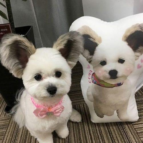 cão com orelhas de rato (8)