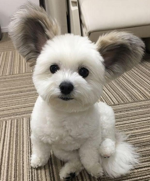 cão com orelhas de rato (9)