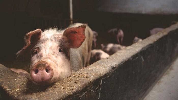 Inteligência dos porcos