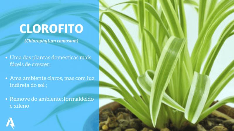 plantas que purificam ar (Clorofito)