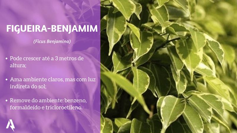 plantas que purificam ar (Figueira-Benjamim)