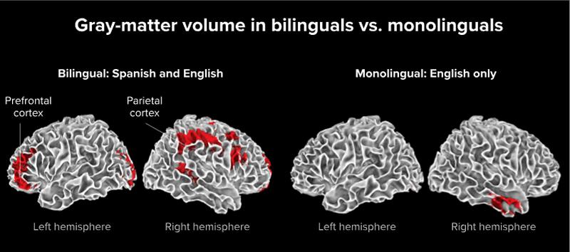 diferença entre ser bilingue e monolingue no cérebro